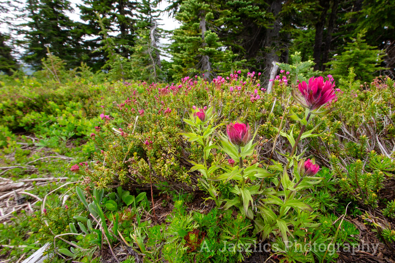 Paintbrush and Pink Mountain Heather