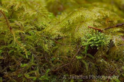 Mosses & Porella Liverwort
