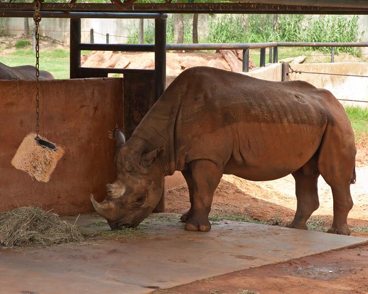 A rhino at The Oklahoma City Zoo