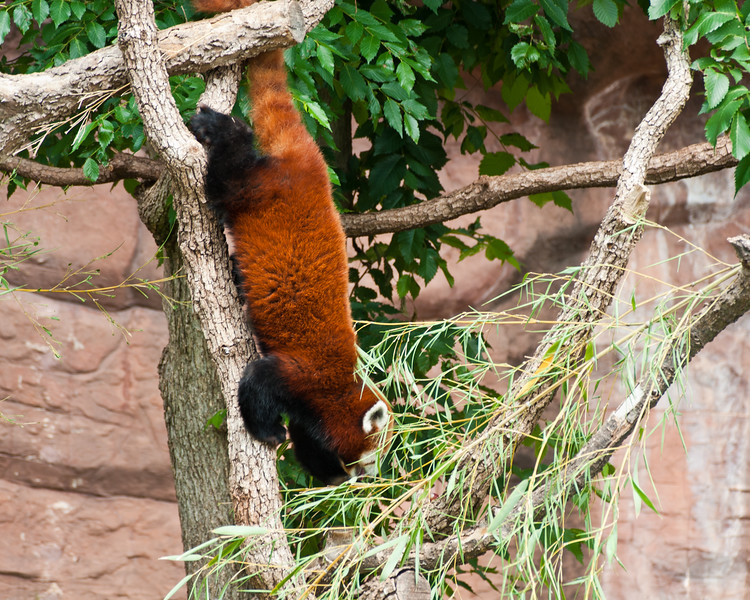 A Red Panda (a firefox?) at The Oklahoma City Zoo