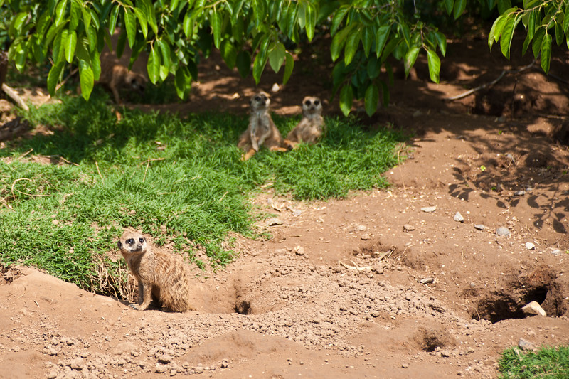 Meerkats at The Oklahoma City Zoo