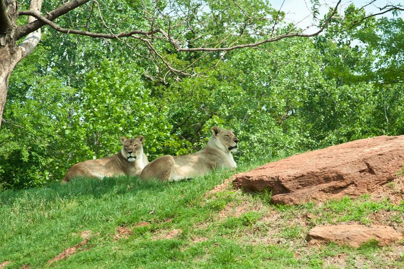 Lions at The Oklahoma City Zoo