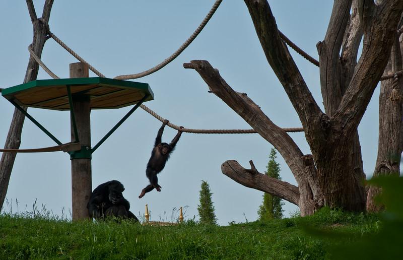 Chimps at The Oklahoma City Zoo