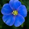 alpine flax