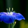 alpine flax in profile