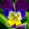 tricolor viola