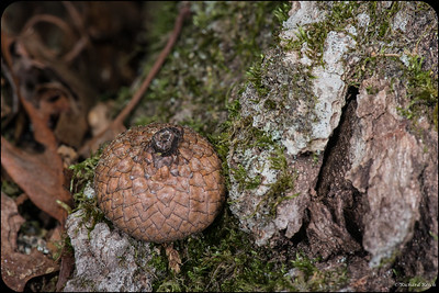 Acorn in the Woods