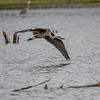 young great blue heron, Huntley Meadows