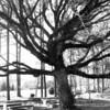 Tree in the Churchyard of Landsburg United Methodist Church