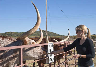 Longhorn cattle feeding time, Wildcatter Ranch Resort & Spa-2