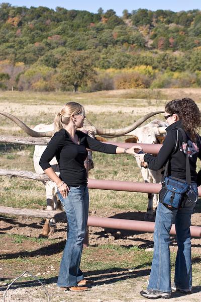Longhorn cattle feeding time, Wildcatter Ranch Resort & Spa-4