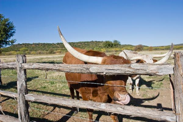 Longhorn cattle feeding time, Wildcatter Ranch Resort & Spa-8