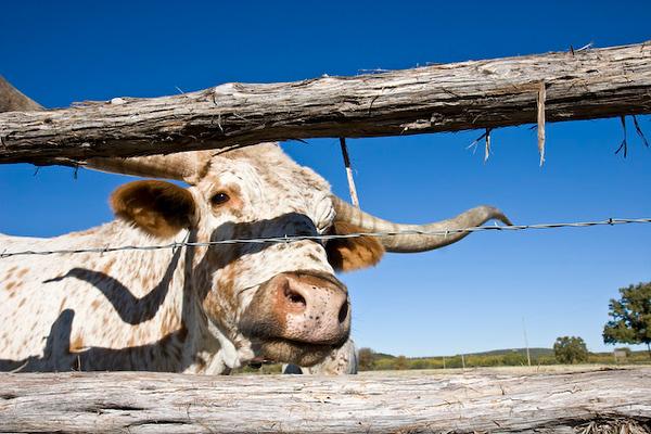 Longhorn cattle feeding time, Wildcatter Ranch Resort & Spa