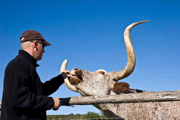 Longhorn cattle feeding time, Wildcatter Ranch Resort & Spa-10