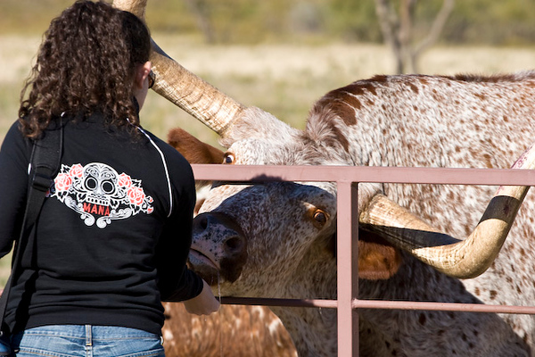 Longhorn cattle feeding time, Wildcatter Ranch Resort & Spa-3