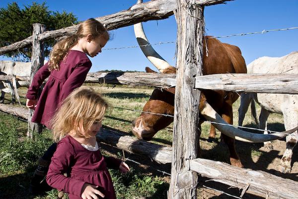 Longhorn cattle feeding time, Wildcatter Ranch Resort & Spa-6