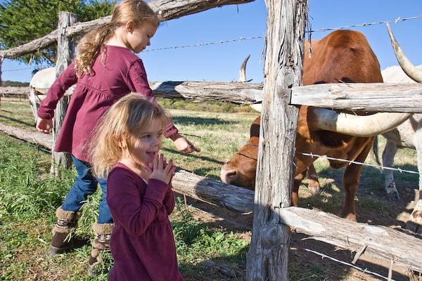 Longhorn cattle feeding time, Wildcatter Ranch Resort & Spa-7