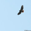 Buteo jamaicensis or Red-tailed Hawk