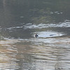 Lontra canadensis or River Otter