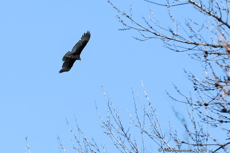 Turkey Vulture or Cathartes aura