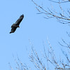 Turkey Vulture or Cathartes aura
