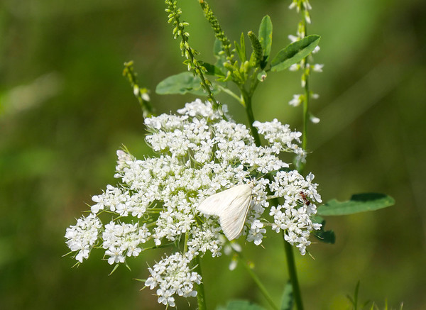carrot seed moth
