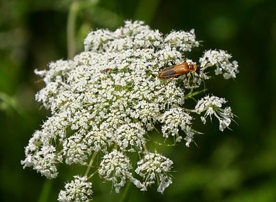 milkweed bug on queen anne's lace