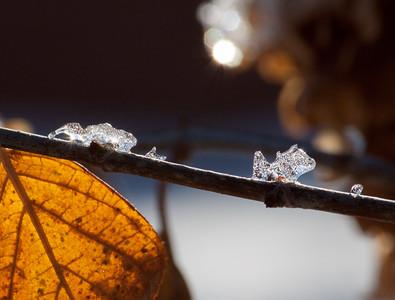 hydrangea ice