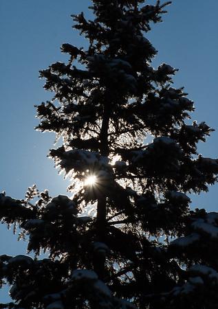 backlit evergreen