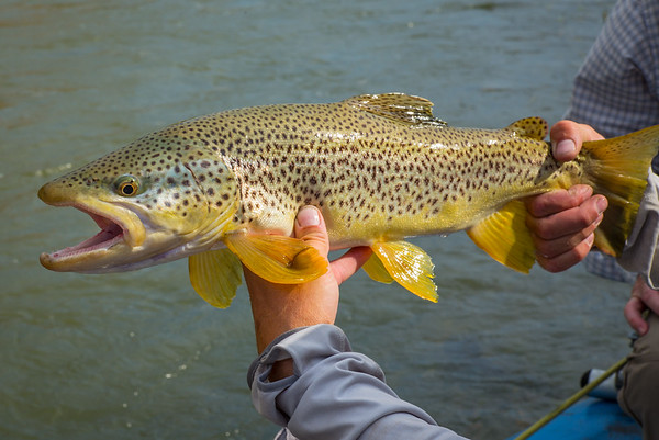 Wind River WY brown trout.