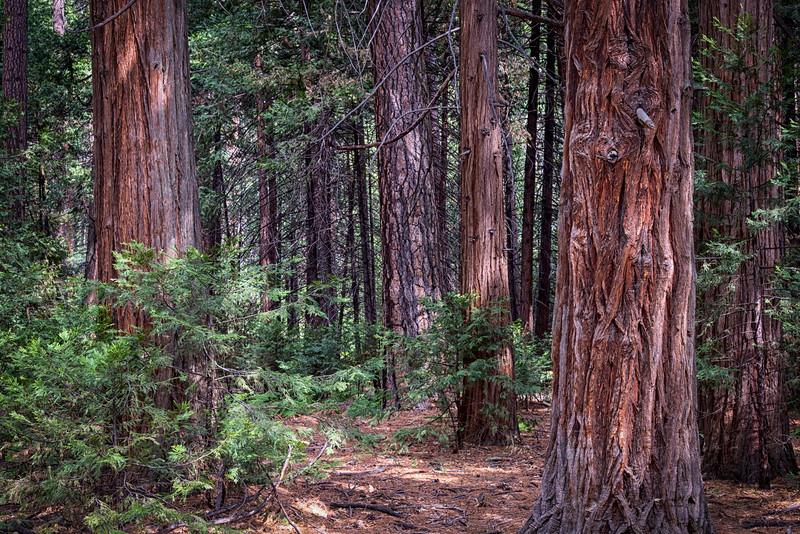 Redwood & Ponderosa Pine