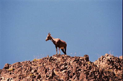 Bighorn Sheep on Ledge
