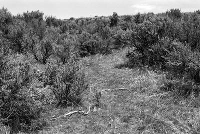 Scabland Sagebrush