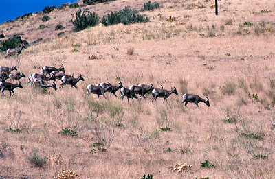 Bighorn Sheep on Hillside