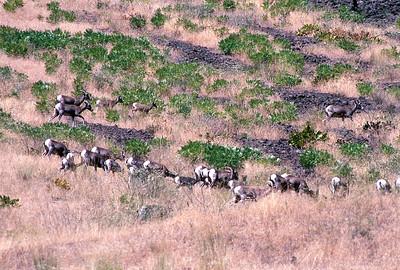 Bighorn Sheep on Hillside