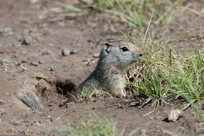 Ground Squirrel, Lamar Valley Yellowstone 7/8/13
