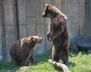 Grizzly Bear Montana Grizzly Encounter, Bozeman, MT http://grizzlyencounter.org, 7/7/2013