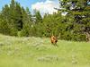 Elk Bull at Yellowstone National Park