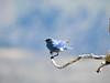 Mountain Blue Bird in Yellowstone National Park