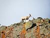 Mountain Goat @ Yellowstone National Park