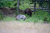 Grizzly Bear & Wolf at Yellowstone National Park