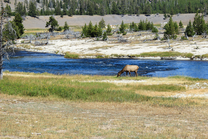 Elk Grazing - Yellowstone National Park