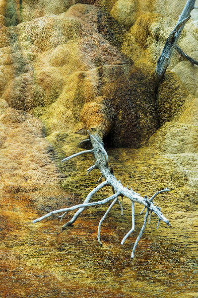 Fallen dead tree at Orange Spring Mound, Yellowstone National Park