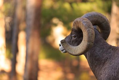 Big Horn Ram 004