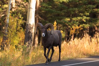 Big Horn Ram 002