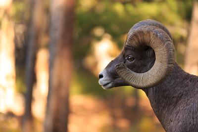 Big Horn Ram 005