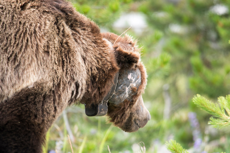 Scarface - oldest Grizzly bear at Yellowstone National Park