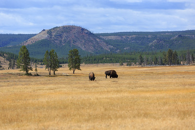 Buffalo along New Perce Creek 001