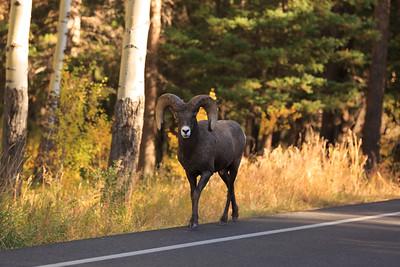 Big Horn Ram 001