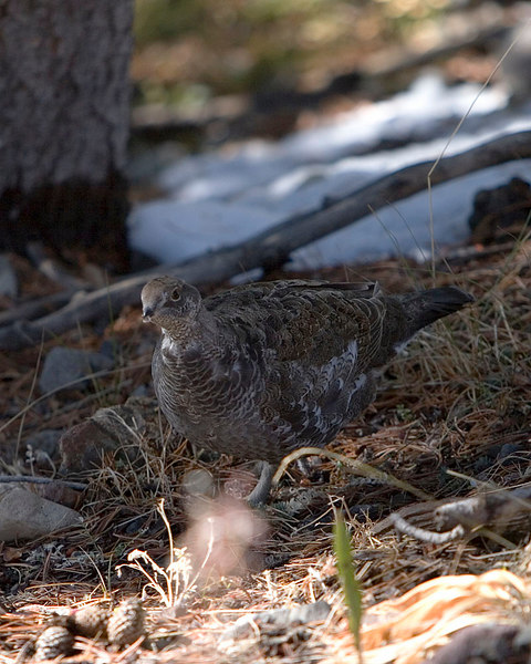 Blue Grouse in Dunraven Pass.